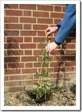 زراعة نبات الجهنمية(المجنونة Bougainvillea 2_thumb[2].jpg?imgmax=800